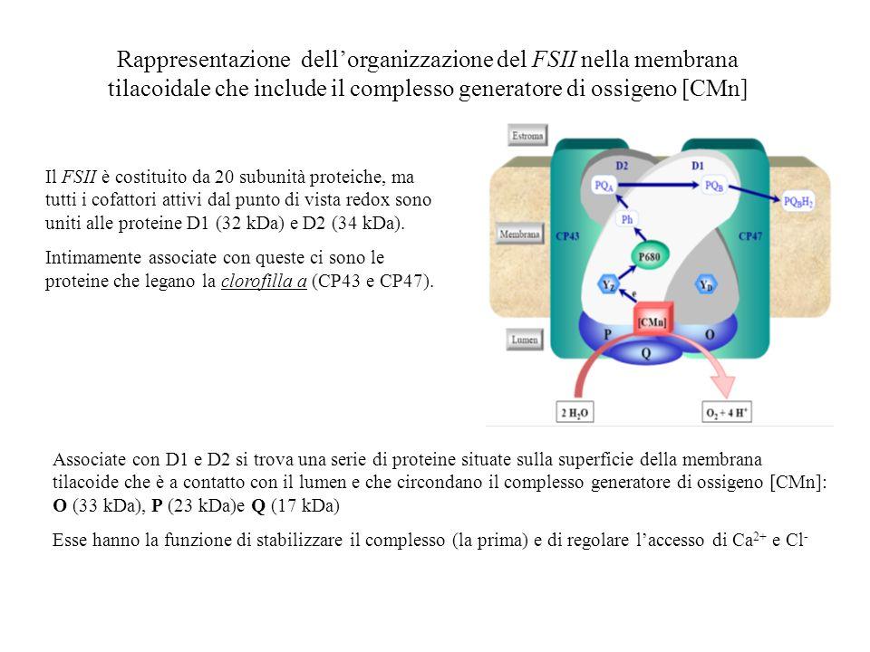 Rappresentazione dell'organizzazione del FSII nella membrana tilacoidale che include il complesso generatore di ossigeno [CMn]